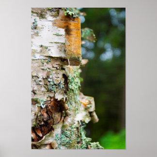 Peeling Birch Tree, Maine Poster