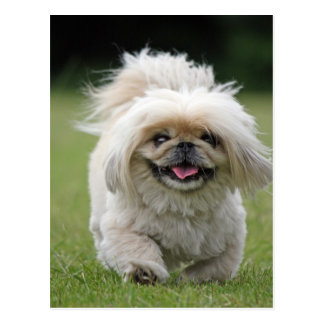 Pekingese dog cute photo postcard