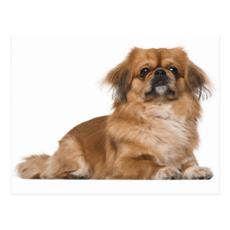 Pekingese Puppy Dog Post Card