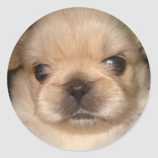 pekingese puppy sticker