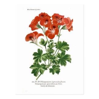 Pelargonium grandiflorum postcard