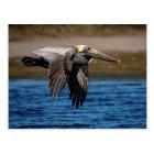 Pelican in flight postcard