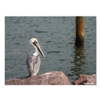 Pelican on the lookout photo print