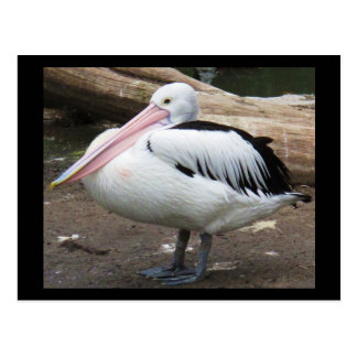 Pelican Photograph - sea wildlife Postcard