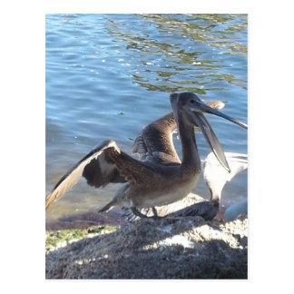 Pelican Postcards