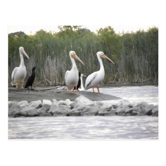 Pelicans and Cormorants Postcard