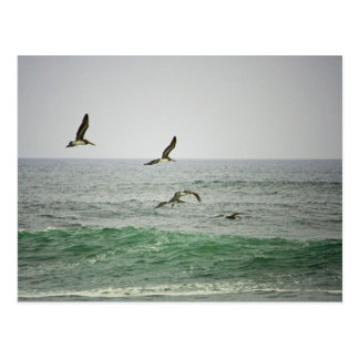 Pelicans at Horsfall Beach, Oregon Postcard