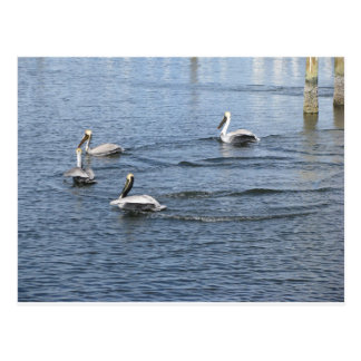 Pelicans Floating in the water in Florida Postcard