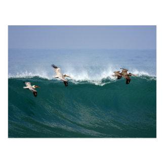 Pelicans Surfing Postcard