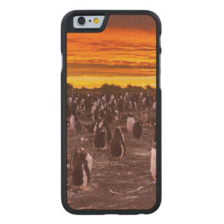 Penguin colony at sunset, Falkland Carved® Maple iPhone 6 Case
