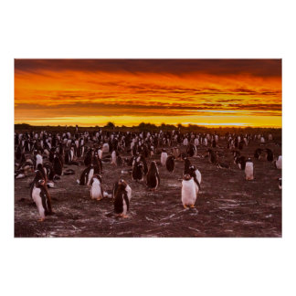 Penguin colony at sunset, Falkland Poster