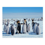 Penguin Gathering Post Cards