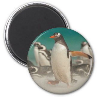 Penguin group on beach, Falklands 2 Inch Round Magnet