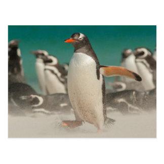 Penguin group on beach, Falklands Postcard