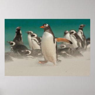Penguin group on beach, Falklands Poster