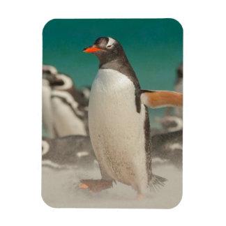 Penguin group on beach, Falklands Rectangular Photo Magnet