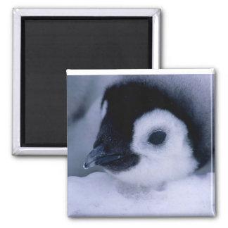 penguin peek square magnet