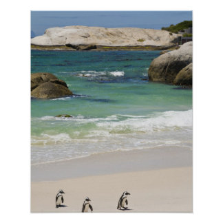 Penguins at Boulders Beach, Simons Town, South 2 Poster