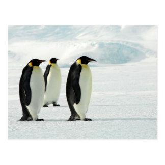 Penguins Three Postcard