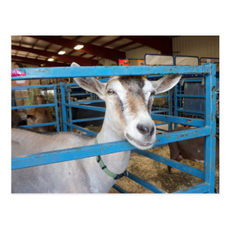 Penned Goat Postcard