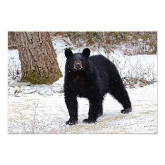 Pennsylvania Black Bear in Winter Photo Print