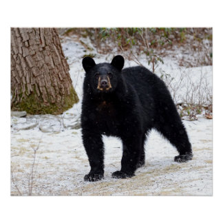 Pennsylvania Black Bear in Winter Poster