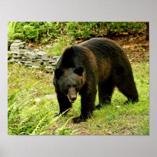 Pennsylvania Black Bear Poster
