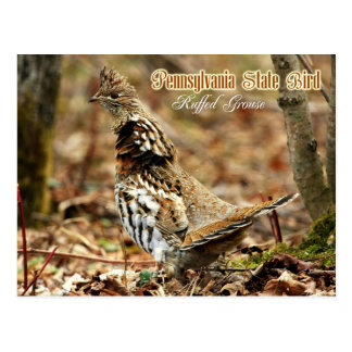 Pennsylvania State Bird: Ruffed Grouse Postcard