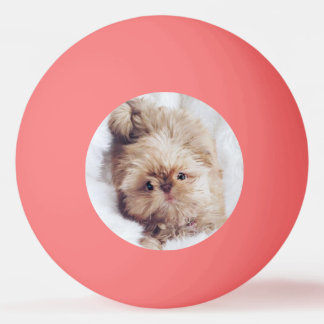 Penny orange liver Shih Tzu puppy ping pong ball