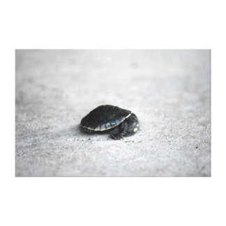 PENNY TURTLE RURAL QUEENSLAND AUSTRALIA CANVAS PRINT