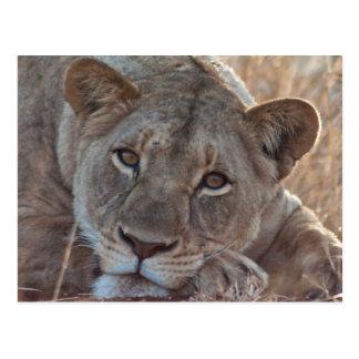 Pensive Lion Postcard