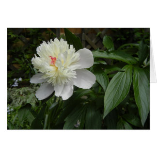 Peony (Paeonia) card