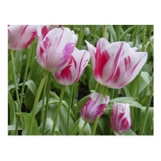 Peppermint Striped Tulips Postcard