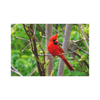 Perched Male Northern Cardinal Canvas Print