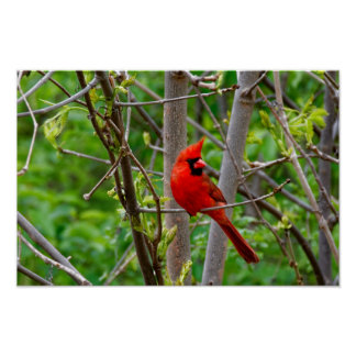 Perched Male Northern Cardinal Poster