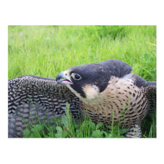 Peregine Falcon in Grass Postcard