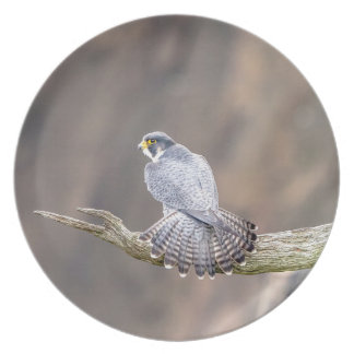 Peregrine Falcon at the Palisades Interstate Park Plate