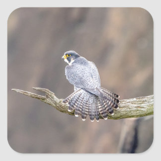 Peregrine Falcon at the Palisades Interstate Park Square Sticker