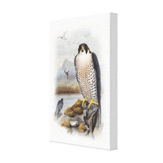 Peregrine Falcon John Gould Birds of Great Britain Canvas Print