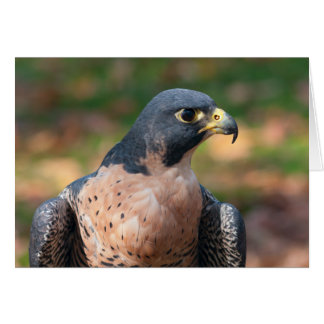 Peregrine Falcon Profile Card