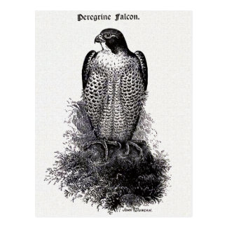 Peregrine Falcon Vintage Bird Illustration Postcard