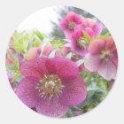 Perennial Plants - Purple Hellebore Classic Round Sticker
