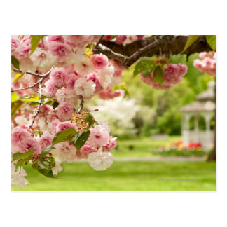 Perfect landscaping with blooming cherry tree in postcard
