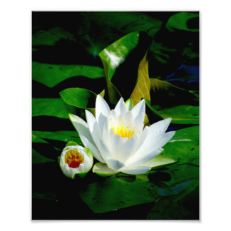 Perfect White Water Lily and Bud Photo Print