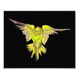 Perruche australienne volante d'oiseau de perruche photographies d'art