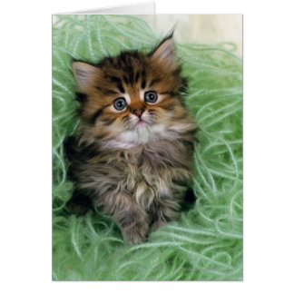 Persian cat; is one of the oldest breeds of cat. card