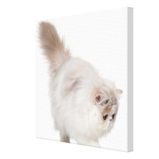 Persian kitten (3 months old) stretched canvas print
