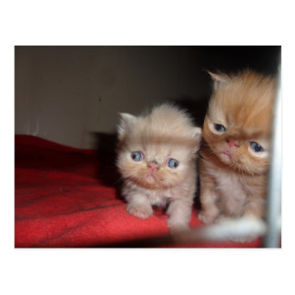 Persian Kittens Postcard