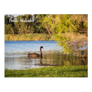 Perth Black Swan Australia Postcard