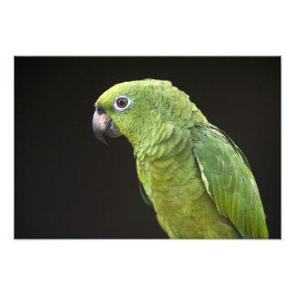 Pet parrot Macushi people Yupukari village Photographic Print
